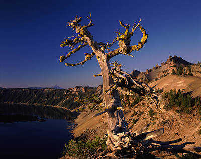 Whitebark Pine Tree At Lakeside Poster by Panoramic Images