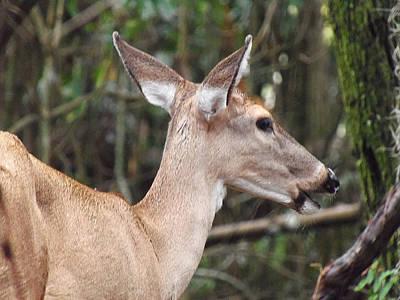Whitetail Deer 038 Poster