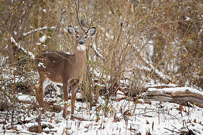 Whitetail Deer Poster by Bill Wakeley