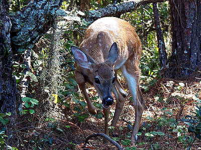 Poster featuring the photograph Whitetail Fawn 008 by Chris Mercer