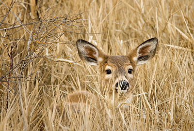 Whitetail In Weeds Poster