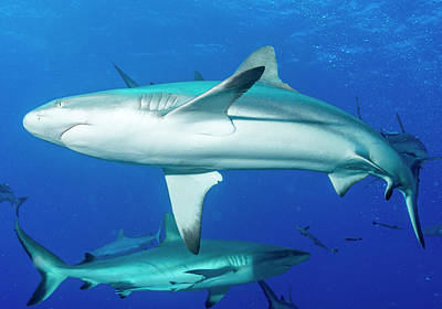 Whitetip Reef Sharks Over A Reef Poster