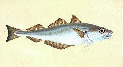 Whiting, Gadus Merlangius, 1803, British Fishes Poster