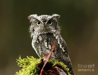 Whooo Goes There... Eastern Screech Owl  Poster by Inspired Nature Photography Fine Art Photography