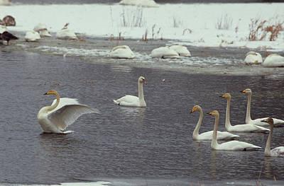 Whooper Swans, Cygnus Cygnus, In Order Poster by Norbert Rosing