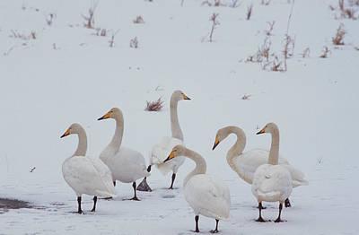 Whooper Swans, Cygnus Cygnus, On River Poster by Norbert Rosing
