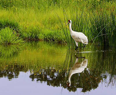 Whooping Crane I Poster by Barbara Smith