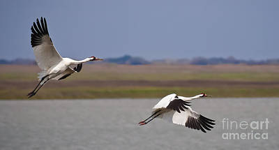 Whooping Crane Pair Poster by Richard Mason