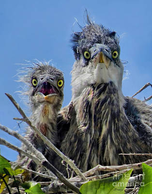 Wide Eyed Baby Herons Poster by Jennie Breeze