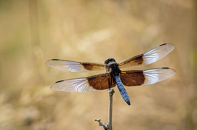 Widow Skimmer Dragonfly Perching Poster