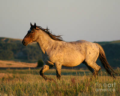 Wild Appaloosa At Sunset Poster