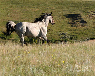 Wild Appaloosa Running Away Poster