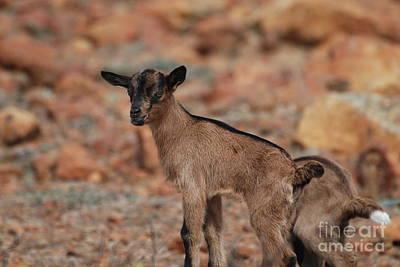 Wild Baby Goat Poster by DejaVu Designs