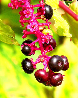 Wild Berries 2013 Poster by Glenn McCurdy