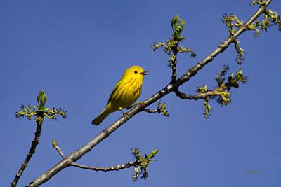 Wild Birds - Yellow Warbler Poster
