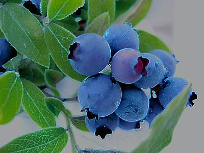 Wild  Blueberries Poster by Shirley Sirois