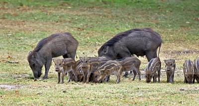 Wild Boar Sow And Piglets Poster