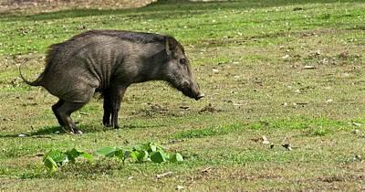 Wild Boar Urinating Poster by K Jayaram