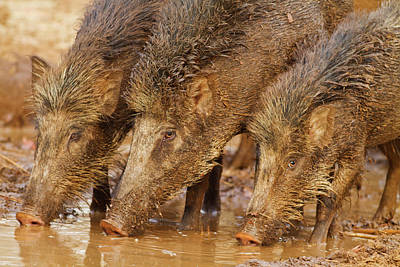 Wild Boars Drinking Water Poster by Jagdeep Rajput