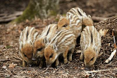 Wild Boars Piglets Poster
