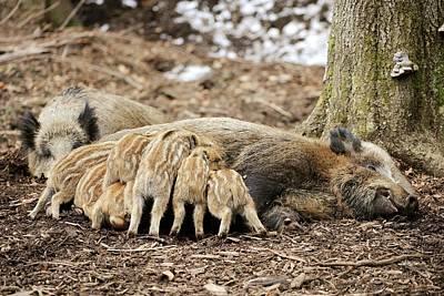 Wild Boars Suckling Poster by Bildagentur-online/mcphoto-schulz