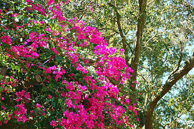 Wild Bougainvillea Poster by Aimee L Maher Photography and Art Visit ALMGallerydotcom