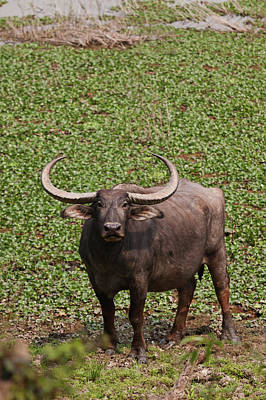 Wild Buffalo Near Water Body, Kaziranga Poster