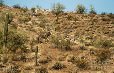 Wild Burros Poster by Robert Bales