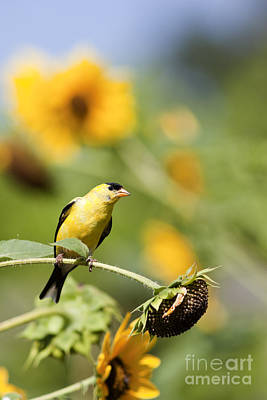 Wild Canary Bird Closeup In A Field Of Sunflowers Poster