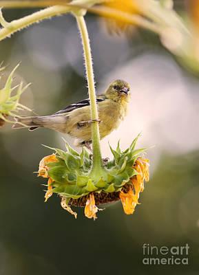 Wild Canary Bird Closeup On A Sunflower Poster