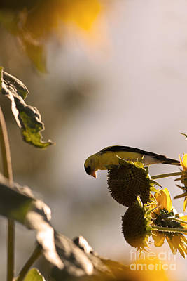 Wild Canary Bird Eating Seeds From Sunflowers Poster