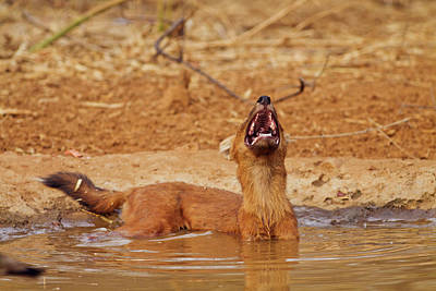 Wild Dog Catching The Scent, Tadoba Poster by Jagdeep Rajput