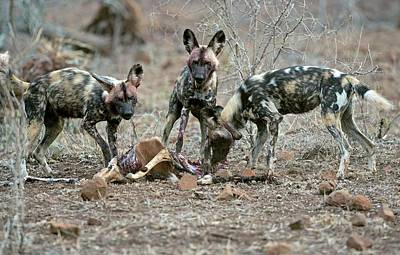 Wild Dogs Feeding On An Impala Carcass Poster by Tony Camacho
