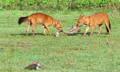 Wild Dogs Playing With A Carcass Poster