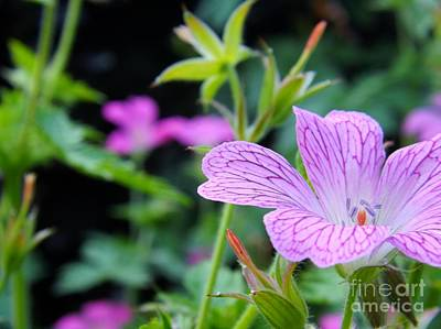 Wild Geranium Flowers Poster by Clare Bevan