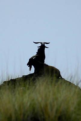 Wild Goats Of Kona Poster by Lori Seaman