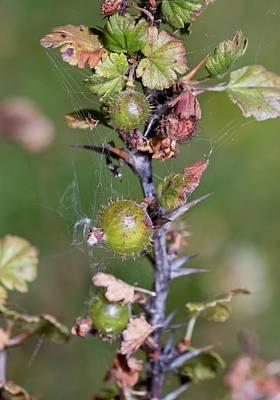 Wild Gooseberries (ribes Uva-crispa) Poster