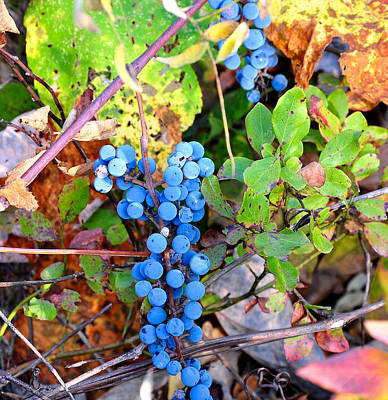 Wild Grapes Poster by Todd Hostetter