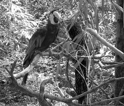 Poster featuring the photograph Wild Hawaiian Parrot Black And White by Joseph Baril