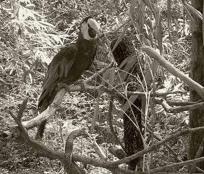 Poster featuring the photograph Wild Hawaiian Parrot Sepia by Joseph Baril