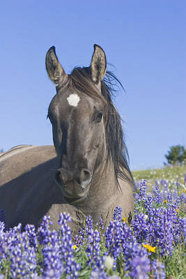 Wild Horse Foal In The Lupines Poster