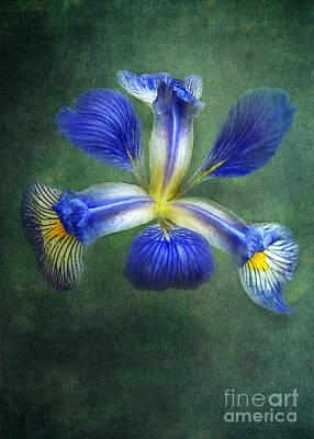 Wild Iris Poster by Kathi Mirto