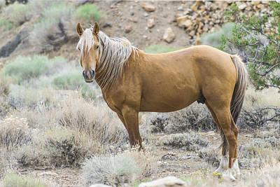 Wild Mustang Stallion Poster