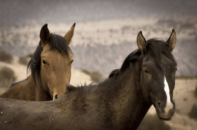 Wild Mustangs Of New Mexico Poster