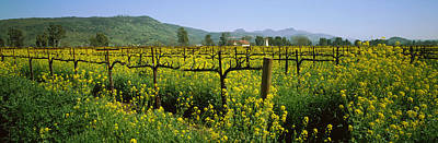 Wild Mustard In A Vineyard, Napa Poster by Panoramic Images