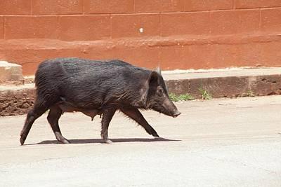 Wild Pig Poster