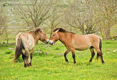 Wild Przewalski's Horses Poster by Bob Gibbons