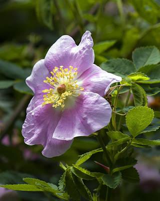 Wild Rose Blossom Poster by Derek Holzapfel
