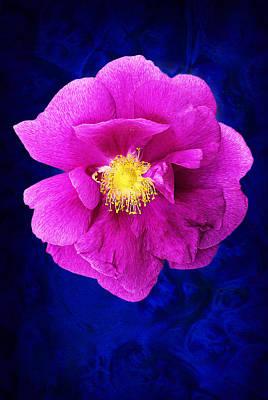 Wild Rose Poster by Donald  Erickson