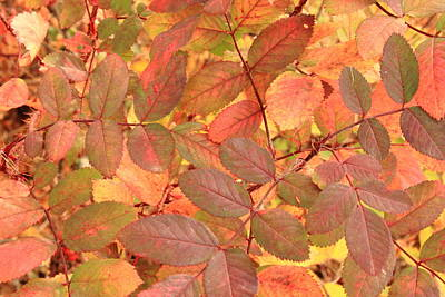 Wild Rose Leaves In Autumn Poster by Jim Sauchyn
